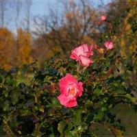 Róże listopadowe ...