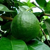 Cytrus-limon  PONDEROSA .  Makro.