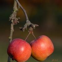 Listopadowe jabłuszka