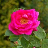 Róż dla Wioletty. Oczywiście Inni też mogą popatrzeć.