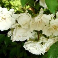 Róża  ALBA MEIDILLAND .