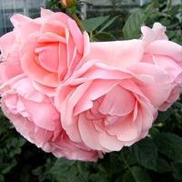 Róża  DARRY  DAY . Makro .