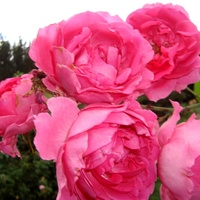 Róża  ELEKTRON 'MULLARD JUBILEE'.
