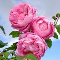Róża  N N .  Makro.