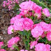 Róża wielokwiatowa  HARWARD .