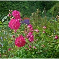 Skoro róż na wieczór...
