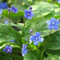 błękitne kwiatki ułudki