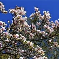 Magnoliowa gałązka ....