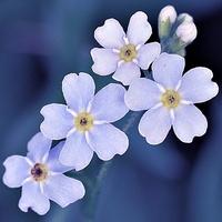 niezapominajki w kolorze blue