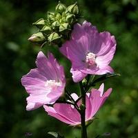 Przydrożny kwiatek