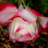 Róża  BEVERLY - KORPAUVIO . Makro.