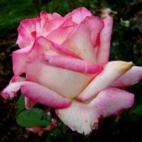 Róża  DOUBLE DELIGHT 'ANDELI' . Makro.