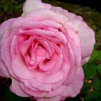Róża  N N .  Makro .
