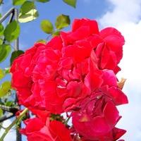 Róża  SYMPATHIE  .