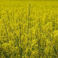 żółte rzepaku pole ;)