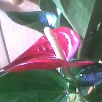 Anturium kwitnie w najlepsze