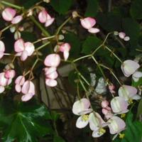 Kwiatuszki Begoni...