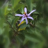 Kwitnące drzewo-Grewia occidentalis