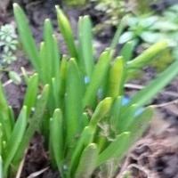 Moja wiosna- narcyzy mini