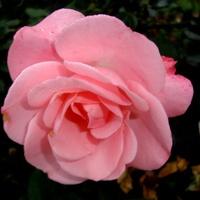 Róza  DOLLY \' POULVISION \'  . Makro .