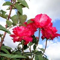 Róża  TORNADO \' KORTOR \' .
