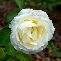 róża z mojego archiwum