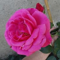 Różowego nastroju:)