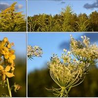 Wspomnienia  z sierpniowej łąki ...