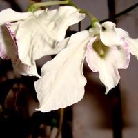 Dendrobium Rhodostictum .  Makro.