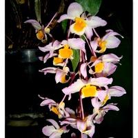 Dendrobium Thyrsiflorum .  Makro .