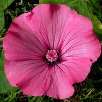 Ślazówka różowa.