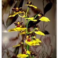 Oncidium Varicosum  ' Beduin Black '.  Makro .