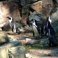 25 kwietnia Światowy Dzień Pingwina