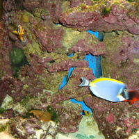 niebieska rybka