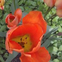 tulipanek ......