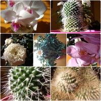 Storczyki, Kaktusy i Róża mojej mamuśki :)