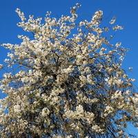 Drzewo kwitnące na biało
