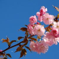 Gałązka kwitnącego migdałowca