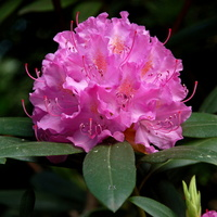 Majowy rododendron