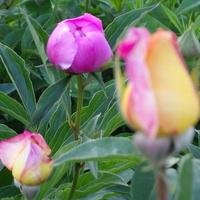 piwoniowo-różany bukiecik