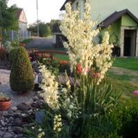 Juka ogrodowa 2