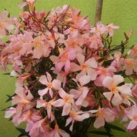 Morelowy oleander