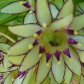 Eukomis, lilia grzywiasta