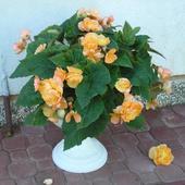 Begonia .