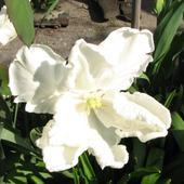 Biały Tylipan