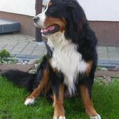 MAX - Pies Ze Szwajc