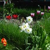 Tulipanki I Narcyze