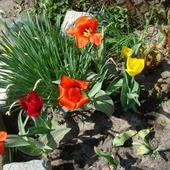 Tulipany,narcyzy I I