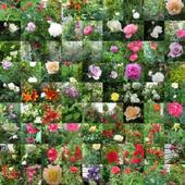 kolaż -moje kwiaty