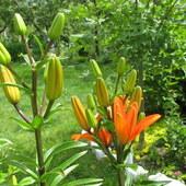 Lilie pomarańczowa